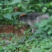 Primate feces could hold key to understanding threats to wildlife from chemical pollutants