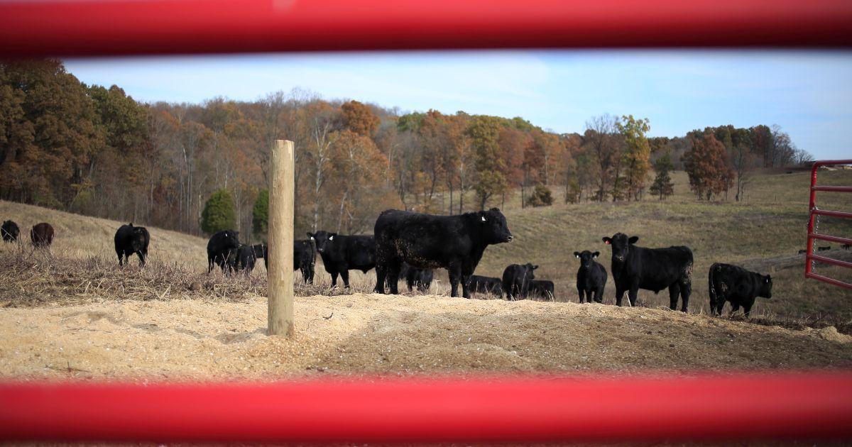 Cattle at Fischer Farms