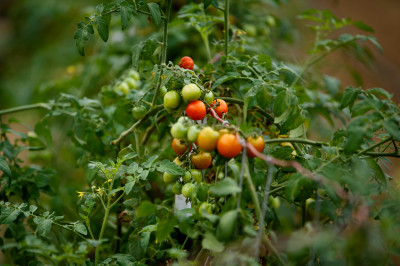 a tomato plant on the campus farm