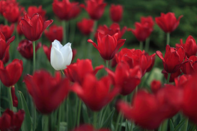 One white tulip stands out in a field of red tulips