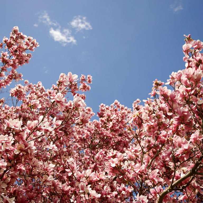 A pink flowering tree on the IU Bloomington campus