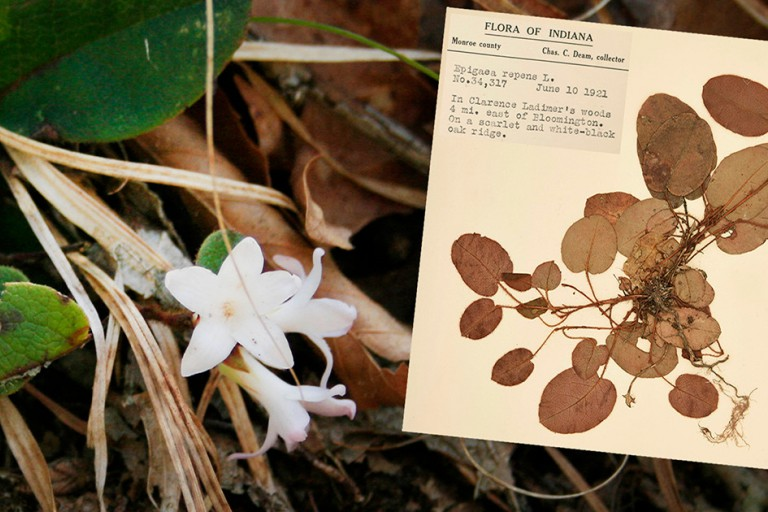 A live and preserved specimen of trailing arbutus