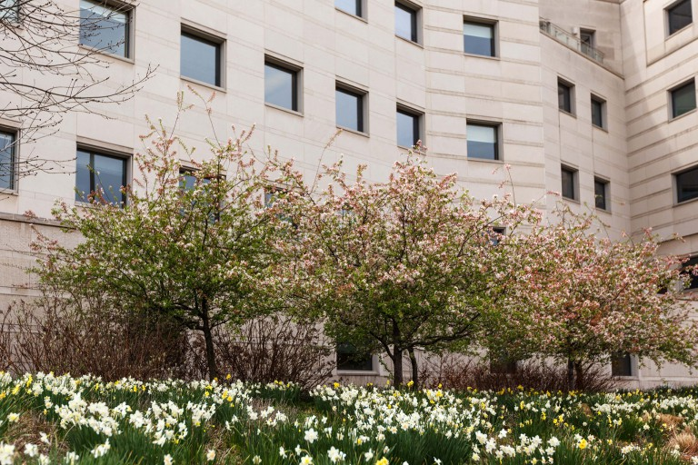 Blooming trees and daffodils on IUPUI's campus