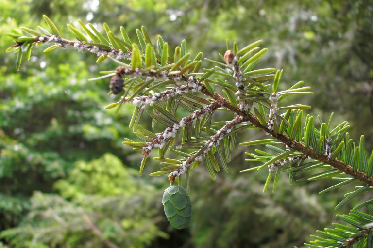 Protective 'wool' produced by hemlock woolly adelgid covers a branch of an eastern hemlock tree.
