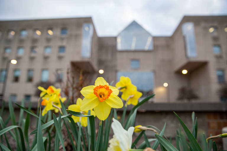 Yellow daffodils in focus in front of an out-of-focus building