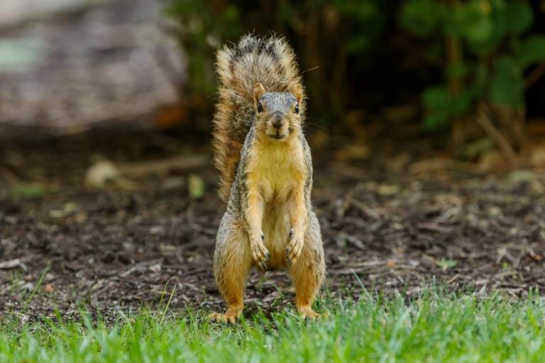 A confrontational squirrel