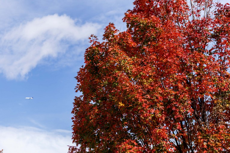 A colorful autumn tree on the IUPUI campus.