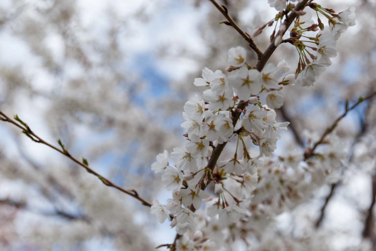 White flowers bloom on a tree branch