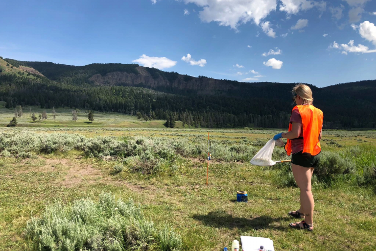 Charity Ownings collects blow flies at Yellowstone National Park