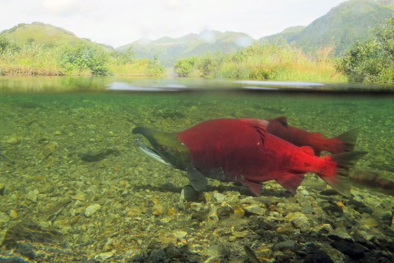 Sockeye salmon spawning