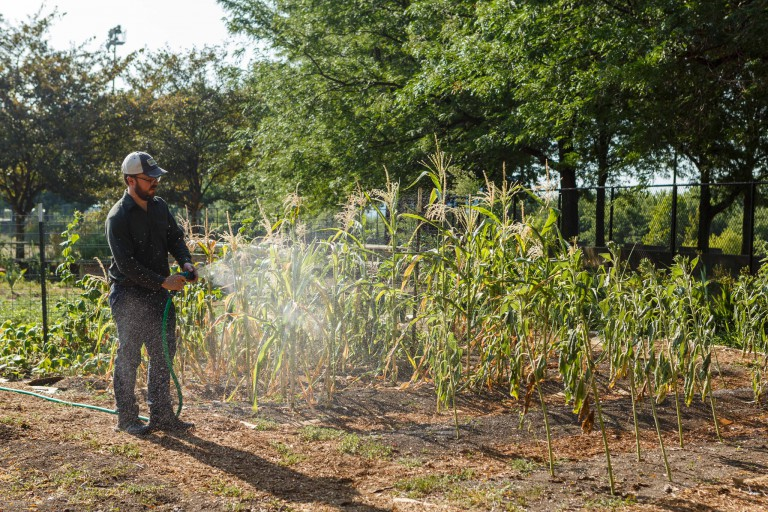 A grounds worker waters corn.