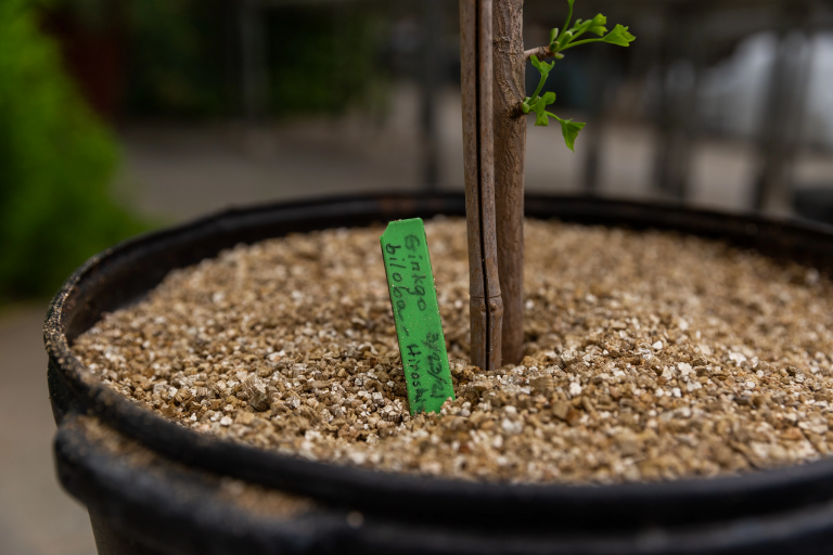 A close-up of a sapling in soil with a label that reads 'ginkgo biloba -- Hiroshima 3-23-21'