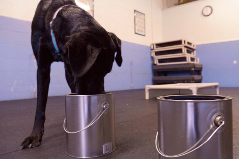 One of the 'Medical Mutts,' dogs who are trained to sniff out cancer.