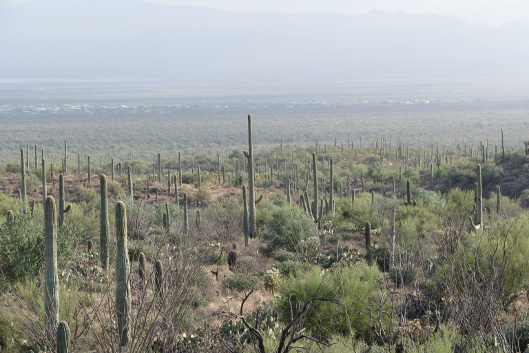 The saguaro cactus in the Sonoran Desert in the Southwest United States.