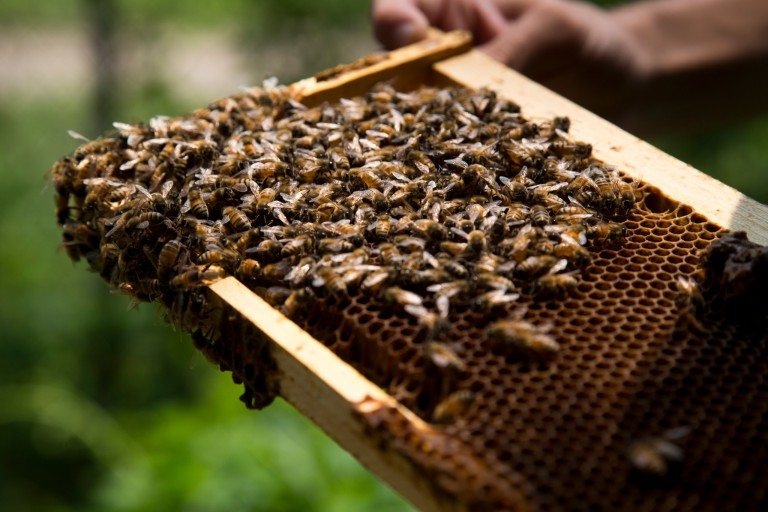 Bees on a hive frame