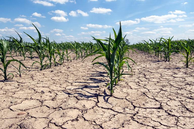Corn field in drought