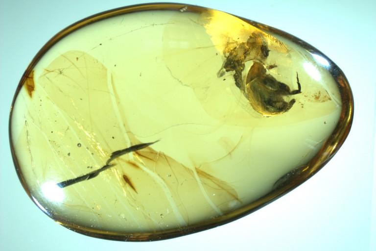 A. burmitina in amber
