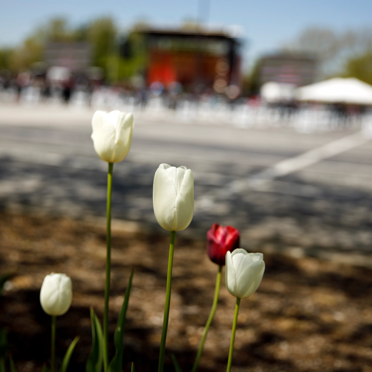 White and red tulips are pictured with commencement in the background