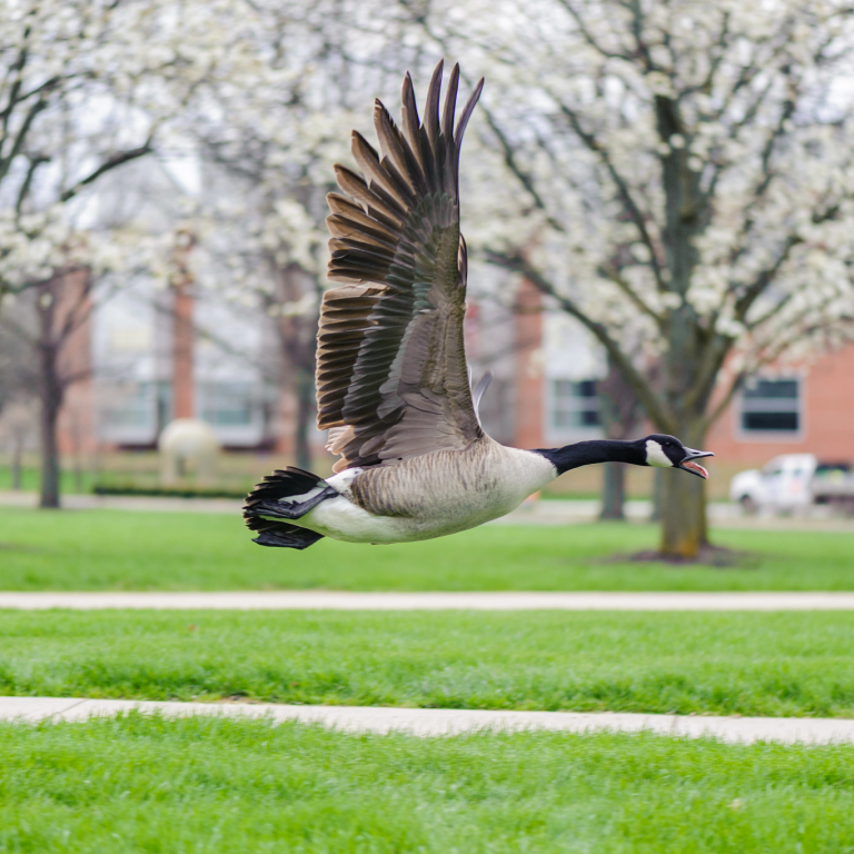 a goose flies just above ground-level amid blooming trees on the IUPUI campus