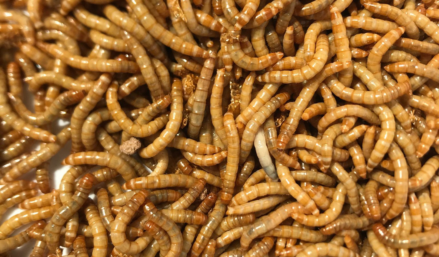 Yellow mealworms
