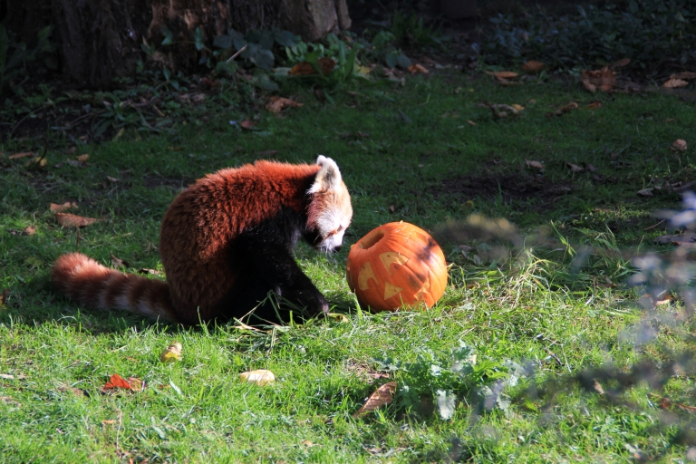 Red raccoon sits in the grass looking at a Jack-o'-lantern.