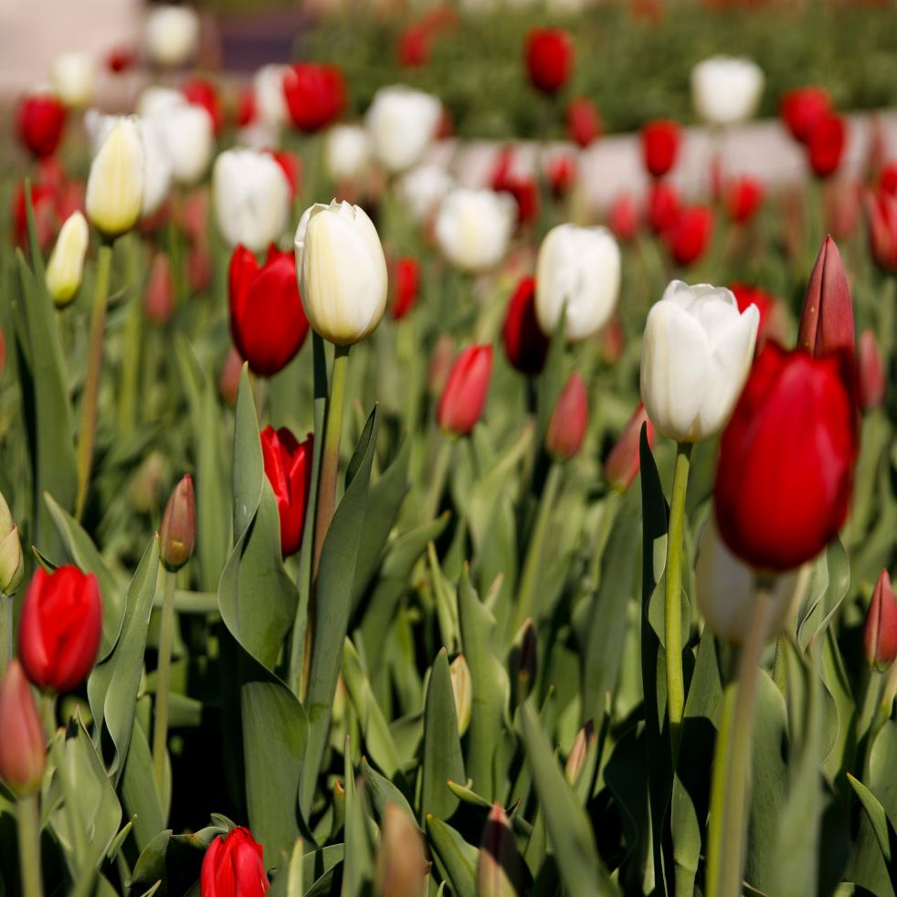 A campus flowerbed full of red and white tulips.