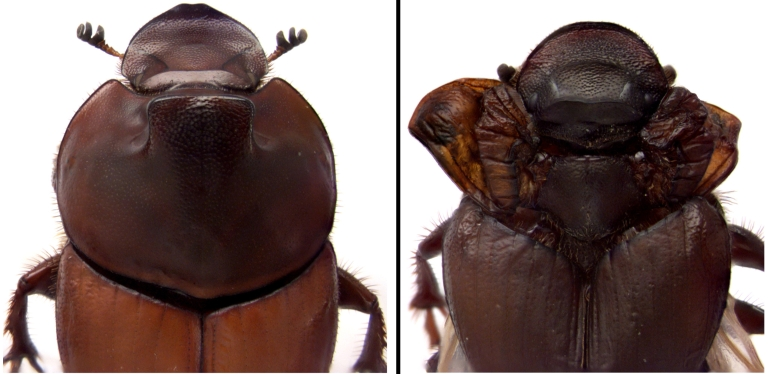 A normal beetle and a beetle with ectopic wings in place of its horns