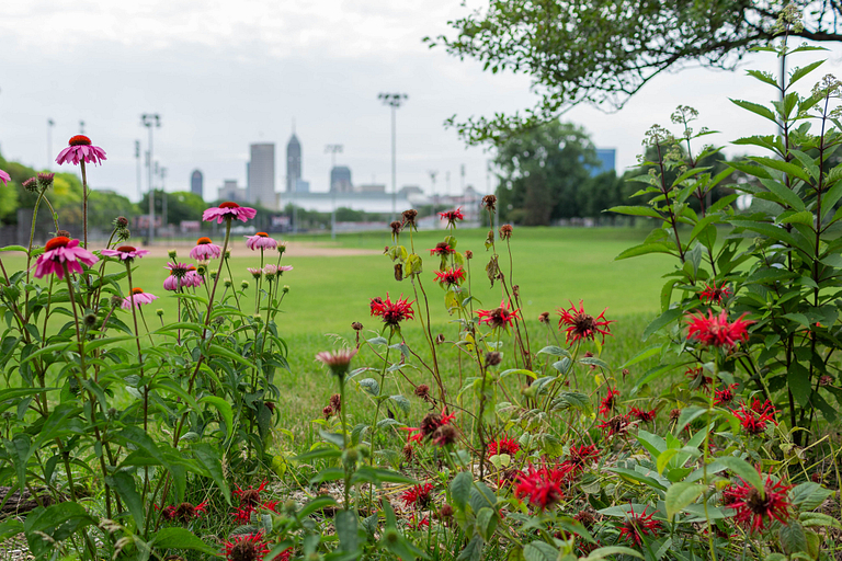 Wildflowers in IUPUI urban garden with Indianapolis skyline in background.