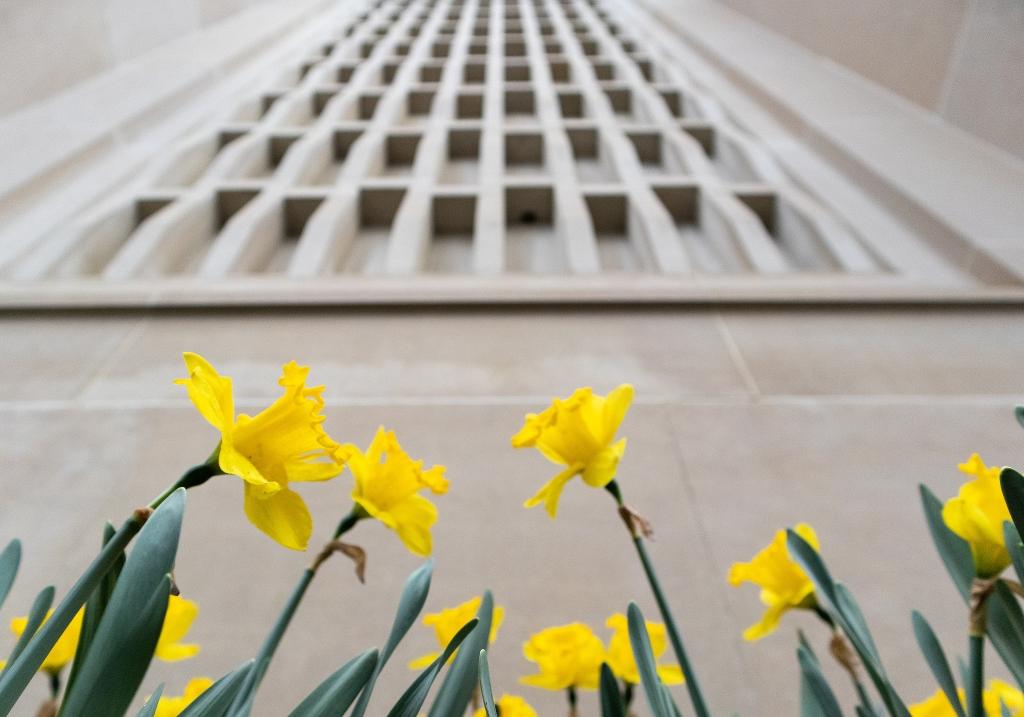 Daffodils on the IU Bloomington campus
