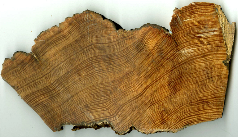 A cross-section of a longleaf pint tree showing tree rings
