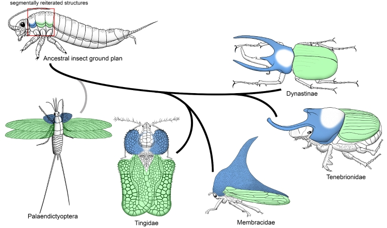 An illustration of the evolutionary origin of horns and wings, from arthropods to insect