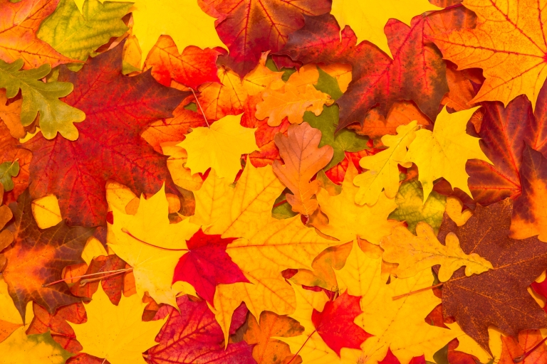 Bright, colorful fall leaves lay in a pile.